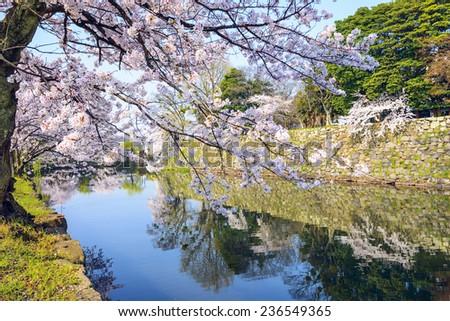 Hikone, Japan sakura cherry trees at Hikone Castle outer moat. - stock photo