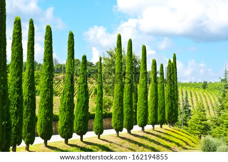 Hill of Tuscany with Vineyards and Cypresses  - stock photo