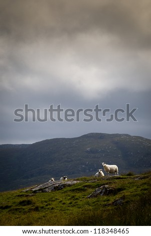 Hill sheep near the cloudline in overcast weather - stock photo