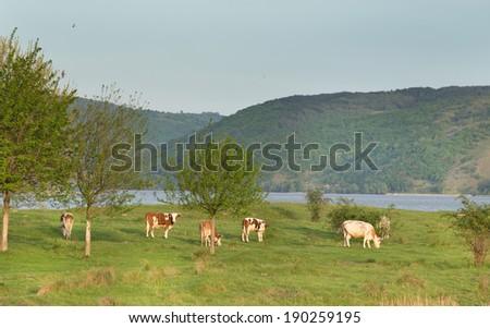 Hills and lake with cows on pasture - stock photo