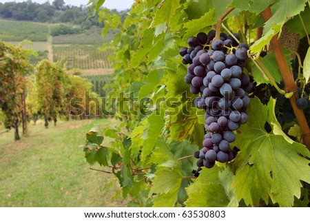 hills  with vineyard for production italian wine - stock photo