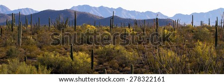 Hillside covered with Organ Pipe, Saguaro and Cholla cacti, and Palo Verde trees in Organ Pipe Cactus National Monument in southern Arizona - stock photo