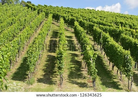 hilly vineyard #7, Stuttgart, foreshortening of hilly vineyard with multiple lines of plants on the hills surrounding the important industrial town - stock photo