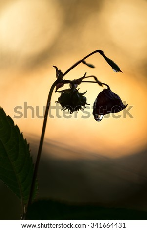 Himalayan balsam, Impatiens glandulifera with waterdrop in sunset - stock photo