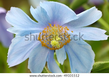 Himalayan Blue Poppy Horizontal - stock photo