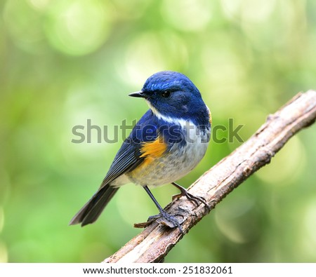 Himalayan Bluetail or Orange-franked Robin, the beautiful blue bird perching on the branch on chest feather profile - stock photo