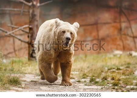 Himalayan brown bear is angry - stock photo