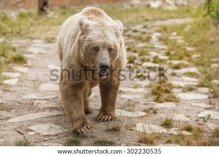 Himalayan brown bear is close - stock photo