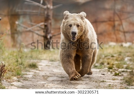 Himalayan brown bear is running - stock photo