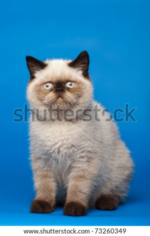 Himalayan cat - stock photo