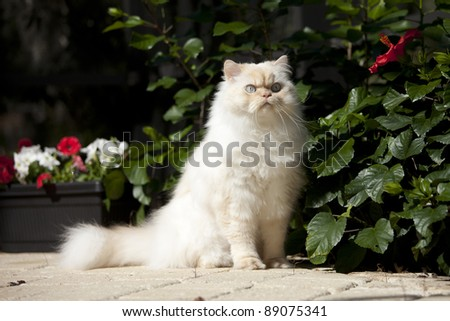himalayan cat in seated pose - stock photo