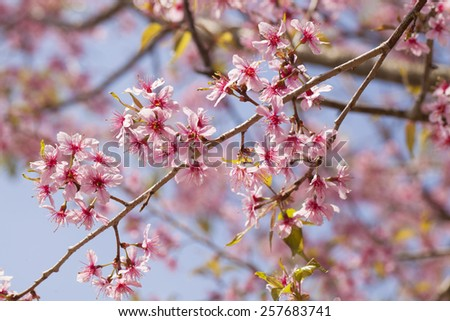 Himalayan cherry blossom, outdoor pink Sukura or Himaayan Cherry Blossom blooming in Thailand - stock photo