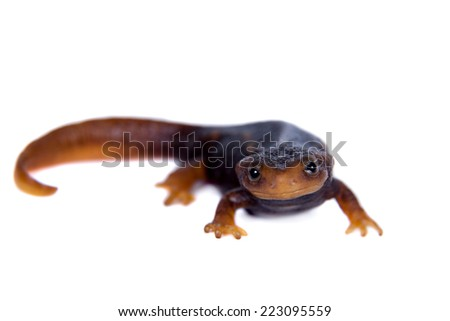 Himalayan newt isolated on white - stock photo
