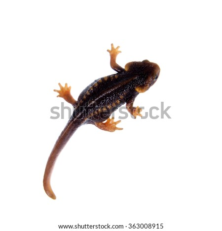 Himalayan newt, Tylototriton verrucosus, isolated on white background - stock photo