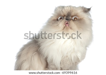 Himalayan Persian, very nice and cute animal with stupid grimace - stock photo