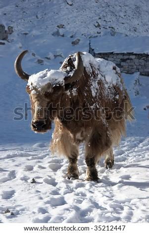 Himalayan yak going for warm sunlight, Nepal - stock photo