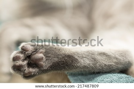 hind paw of a grey cat - stock photo