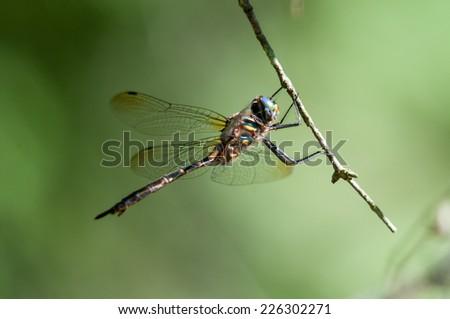 Hine's Emerald Dragonfly - stock photo