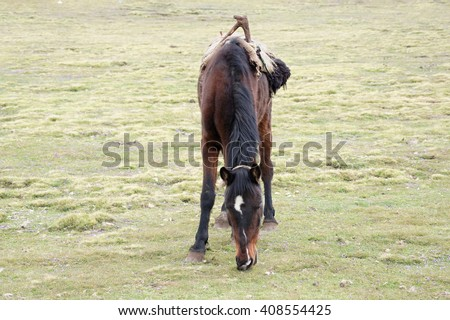 Hinny on pasture in Simien mountains, Ethiopia