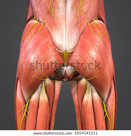 Hip Muscles Anatomy Nerves Posterior View Stock Illustration ...