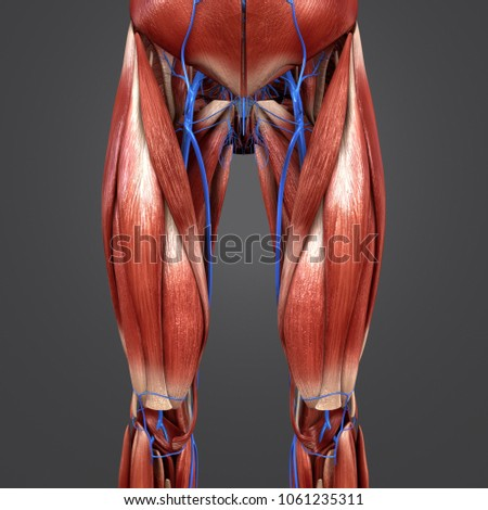 Hip Muscles Anatomy Veins Anterior View Stock Illustration ...
