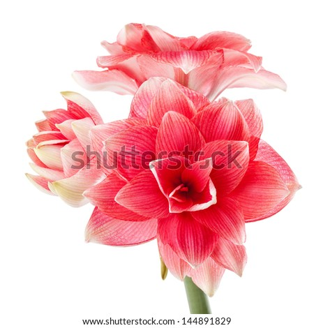 "Hippeastrum ""Double Dream"" isolated on the white background - stock photo"