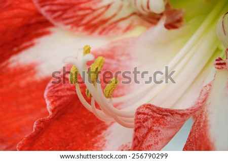 Hippeastrum flower, also known as Amaryllis, close-up view, shallow DOF - stock photo