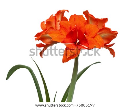 "Hippeastrum hybrid double flowering variety ""Red Peakock"" isolated on the white background"