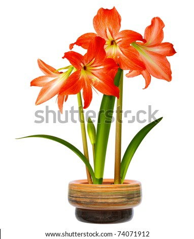 Hippeastrum in pot. Isolated on white background - stock photo