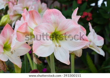 Hippeastrum johnsonii Bury soft focus and Select Focus