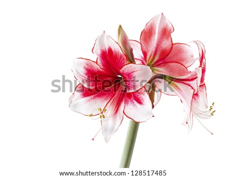 "Hippeastrum ""Temptation"" isolated on the white background - stock photo"