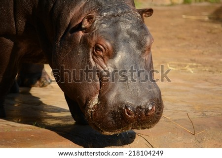 Hippo - stock photo