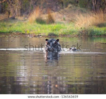 Hippo and baby in water in Okavango Delta Botswana - stock photo
