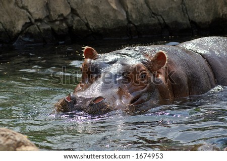 Hippo at the St. Louis Zoo - stock photo