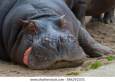 Hippo detail photo. Lying and almost sleeping