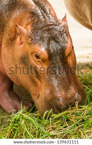 Hippo eat grass in chiangmai zoo chiangmai Thailand - stock photo