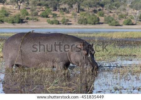 Hippo eating in the Chobe River area at Kasane, Botswana