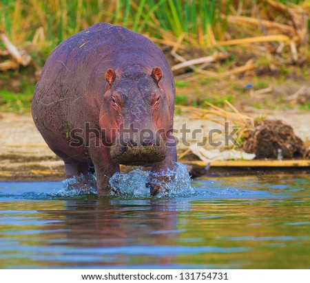 Hippo emerging from the water photographed in a natural habitat - stock photo