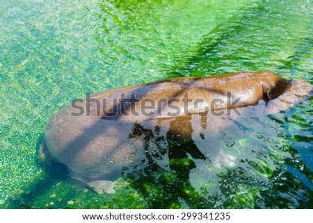 Hippo enjoying the water  - stock photo