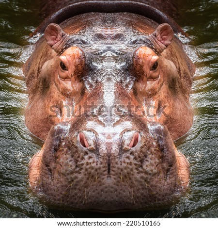 Hippo face close up - stock photo