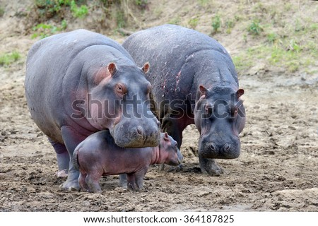 Hippo family (Hippopotamus amphibius) outside the water, Africa - stock photo