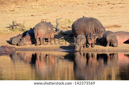 Hippo family (Hippopotamus amphibius) resting outside the water, South Africa  - stock photo