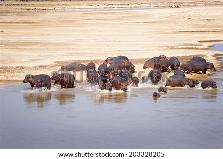 Hippo Family running into the water of the Luangwa River, South Luangwa National Park, Zambia, Africa - stock photo