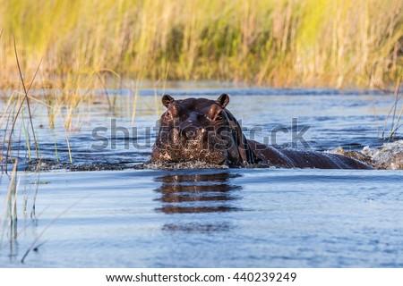 Hippo (Hippopotamus amphibius) head stick out of Okavango river. Moremi game reserve, Botswana, Africa. - stock photo