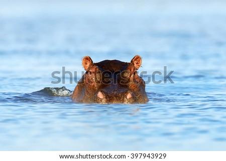 Hippo (Hippopotamus amphibius) in the water, Kenya, Africa - stock photo