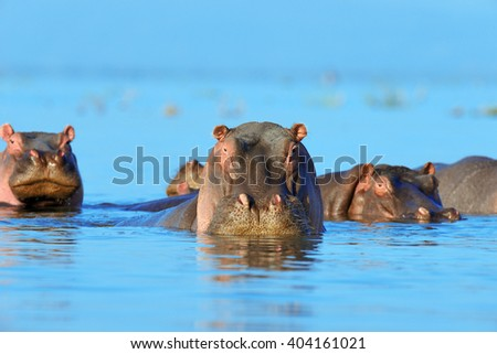 Hippo (Hippopotamus amphibius) in the water, Kenya, Africa - stock photo