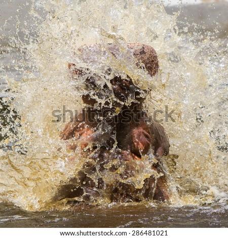 Hippo (Hippopotamus amphibius) with open mouth displaying aggression - stock photo