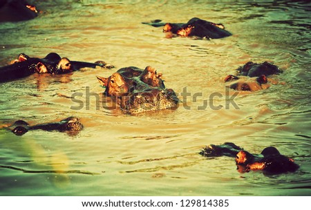 Hippo, hippopotamus in river. Safari in Serengeti, Tanzania, Africa - stock photo
