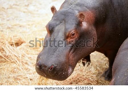Hippo hippopotamus portrait at eating time - stock photo