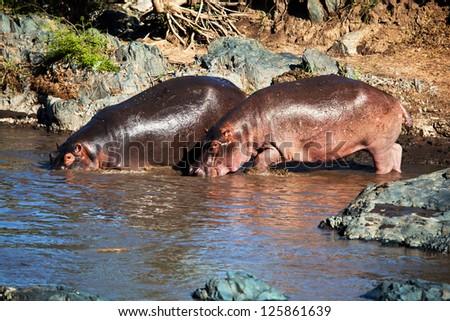 Hippo, hippopotamus walking to the river. Safari in Serengeti, Tanzania, Africa - stock photo